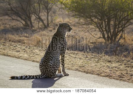 Cheetah in Kruger national park, South Africa  ; Specie Acinonyx jubatus family of felidae