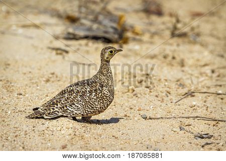 Double-banded sandgrouse in Kruger national park, South Africa  ; Specie Pterocles bicinctus family of Pteroclidae