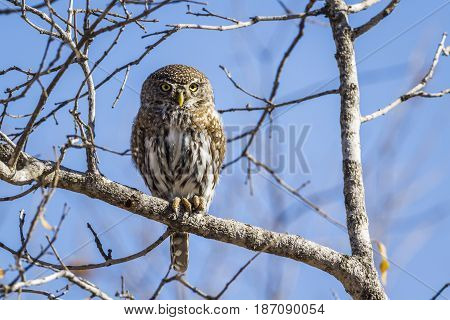 Pearl-spotted owlet in Kruger national park, South Africa ; Specie Glaucidium perlatum family of Strigidae
