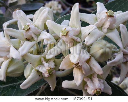 Beautiful White Flower, Crown Flower