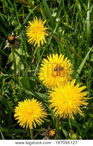 Worker bee gathering pollen from yellow flowers. Field of sow thistles at sunny day