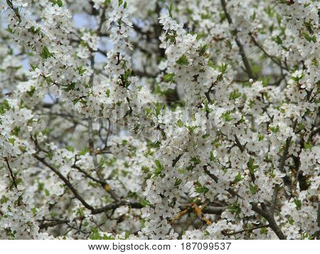 white plum tree blossom at spring time