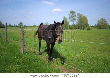 Brown horse walking on fenced pasture. Typical countryside view of Poland.