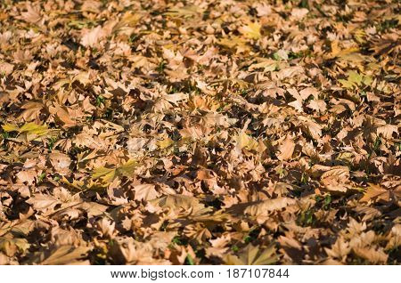 Fallen leaves color image texture background, brown