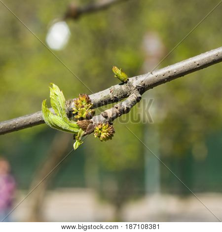 Blossom of European or Common Ash Fraxinus excelsior with bokeh background macro selective focus shallow DOF.