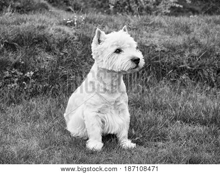 West Highland White Terrier Sitting On The Fresh Green Grass In The Garden. The Dog Watches