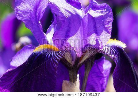Iris in bloom close up of purple flower in spring