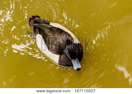 Ring-necked duck in spring. Black & white duck visits northern lakes and ponds in breeding season.