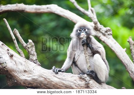 Dusky leaf monkey Spectacled Langur in Thailand