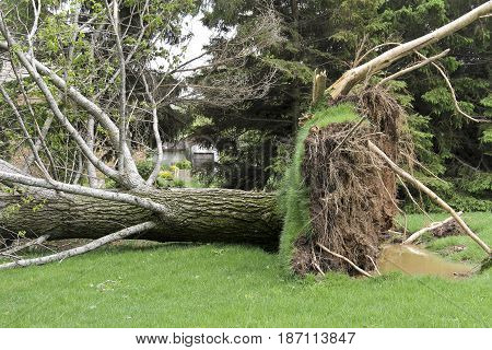 Tree is downed after a strong tornado and wind storm
