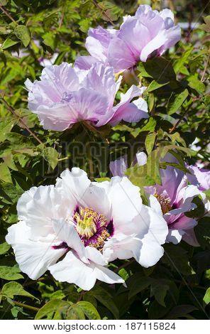 Peonies. Flowers peonies. Flowering bush of pink tree peony