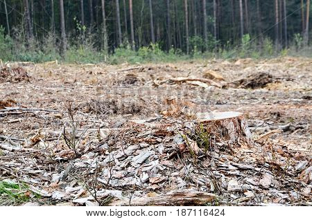 A felling of trees in a pine forest