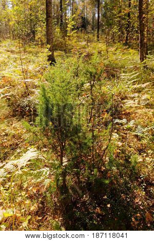 Juniper bush in the forest in early autumn