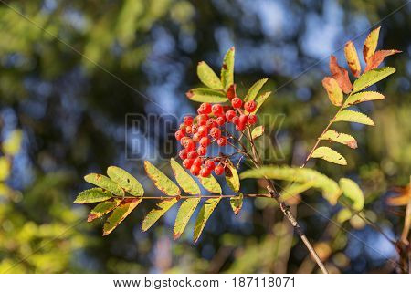 Branch of rowan with berries in the foreground