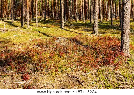 Glade with berry bushes in a pine forest