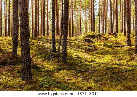 Green moss and berry bushes in a pine forest