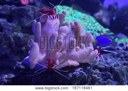 Red prawns on the corral on the seabed