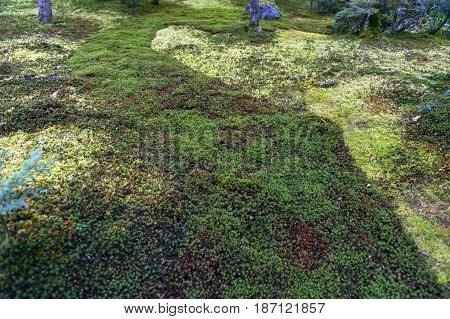 Garden Ground Covered By Green Star Moss Texture Background