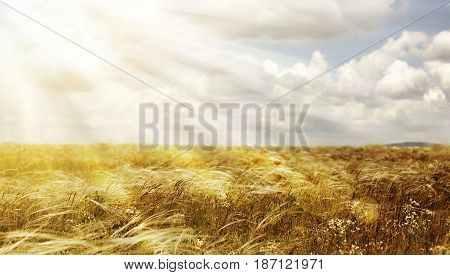 Website banner of a golden summer field with heavenly light