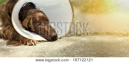 Website banner of a dog as wearing a funnel collar after surgery