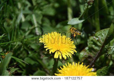 A flying polar bee landed on a dandelion. Bee.
