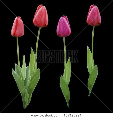 Set red pink purple tulips. Flowers on the black isolated background with clipping path. Closeup. no shadows. Buds of a tulips on a green stalk. Nature.
