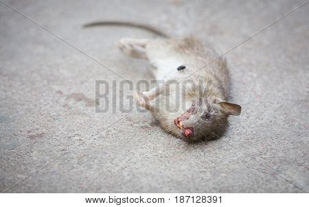 Dead rat on the asphalt. A fly crawls on a rat. Blood. Soft focus.