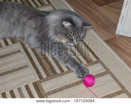 Gray fluffy siberian cat playing with magenta ball of yarn. Active pet catch the toy.