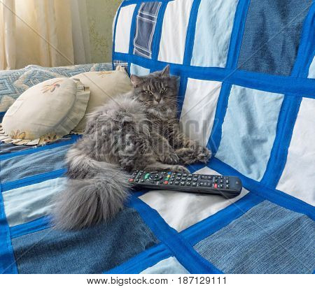 Fluffy siberian cat lying on the sofa. Remote control near.