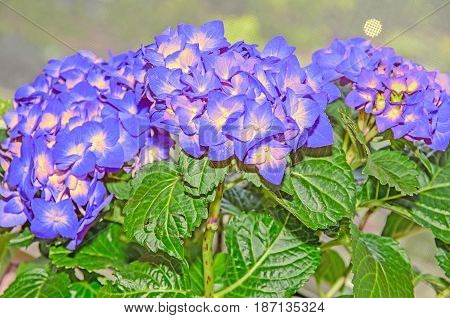 Blue With Yellow Hydrangea Flowers, Hortensia Petals Close Up, Bokeh
