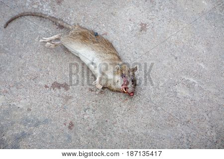 The dead rat lies on the asphalt. A fly crawls along the corpse. In the frame of the blood. Focus on the face.