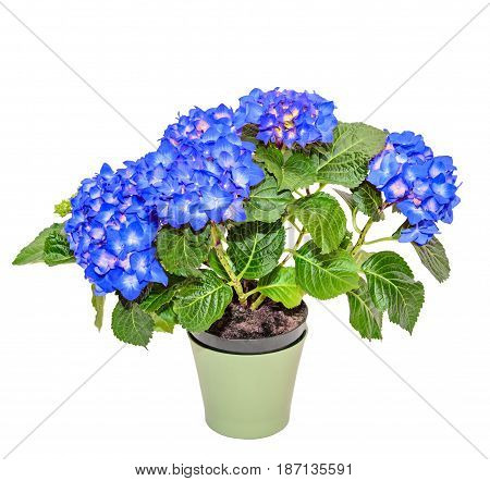 Blue Hydrangea Flowers In A Green Flowerpot, Hortensia Close Up Isolated