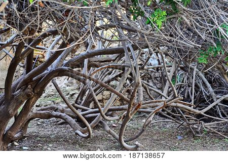 Strange Curved Branches Of A Tree