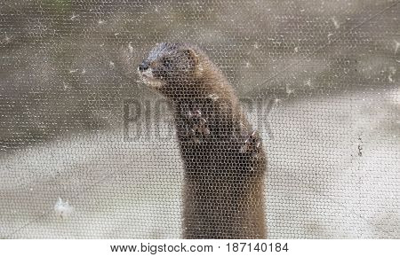 European mink Mustela lutreola looking through the grid of his cage