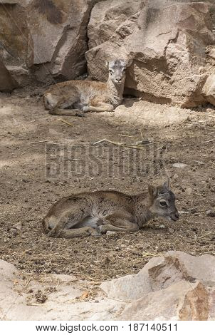 Two baby moufflon resting on ground. Rocky background