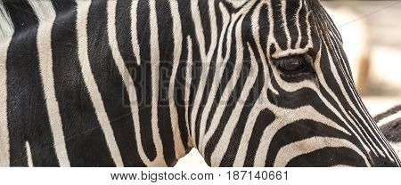 Detail of neck head and eye of a striped zebra. Closeup