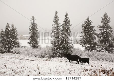 Cattle in winter pasture scenic beauty cold