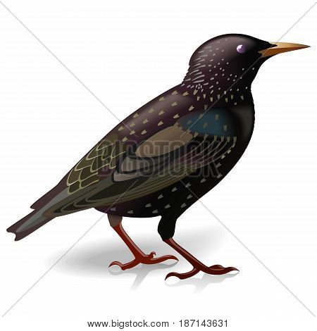 Vector Black Starling isolated on white background