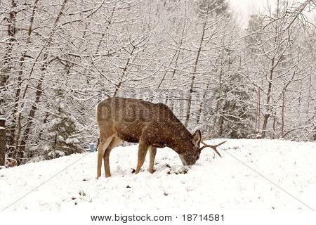 Mule Deer buck grazing in winter scenic beauty