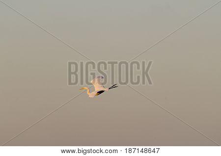 Great Egret uncurls for landing at dusk