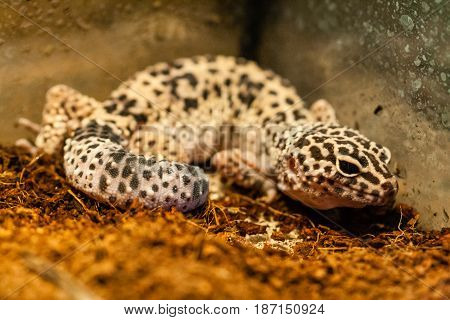 Exotic reptile eublepharis animal a close up