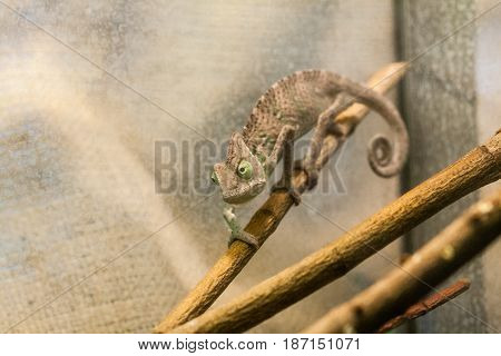 Chameleon creeps along the branch close up