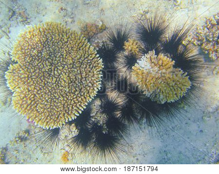 Egypt. Red sea. Corals and a group of sea urchins.