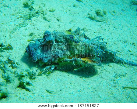Red sea. Egypt. Underwater shooting. Synanceia verrucosa, lies on the sand. The most poisonous fish. The fish is a stone. One. Green background. He looks to the left.