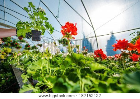 Greenhouse Flowers Cultivation. Taking Care of Greenhouse Plants.