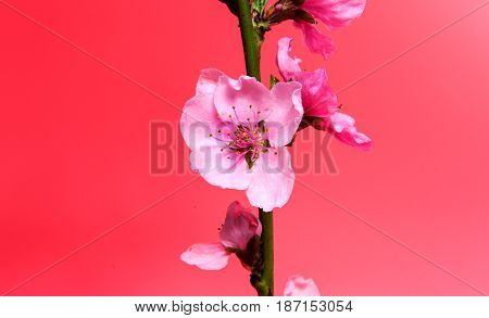 Sakura flowers isolated on a red background