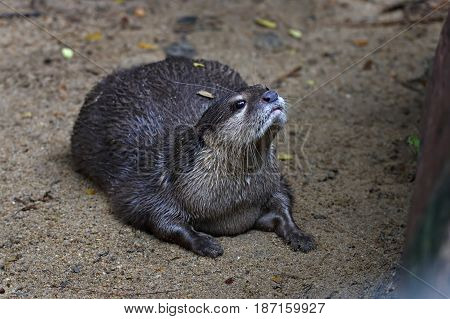 Smooth-coated Otter Lutrogale Perspicillata Mammal Of Thailand