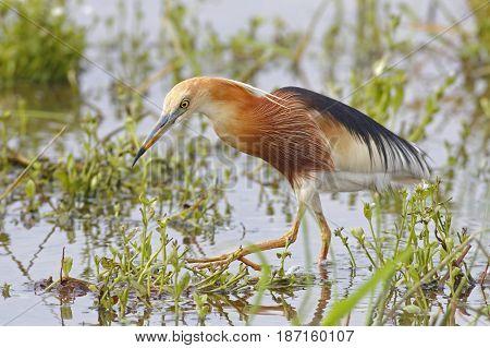Javan Pond Heron Ardeola Speciosa Birds Of Thailand