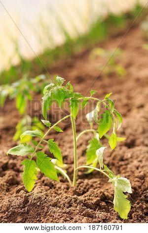 Plant A Sapling A Tomato Bush In The Greenhouse