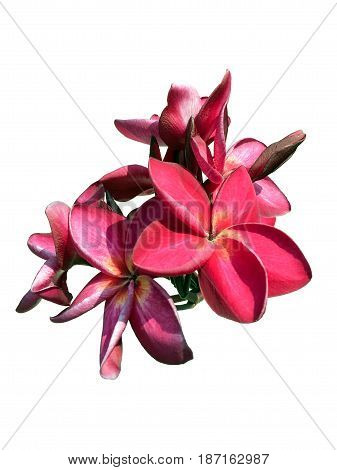 Red Plumeria Flower Head Isolated With White Background